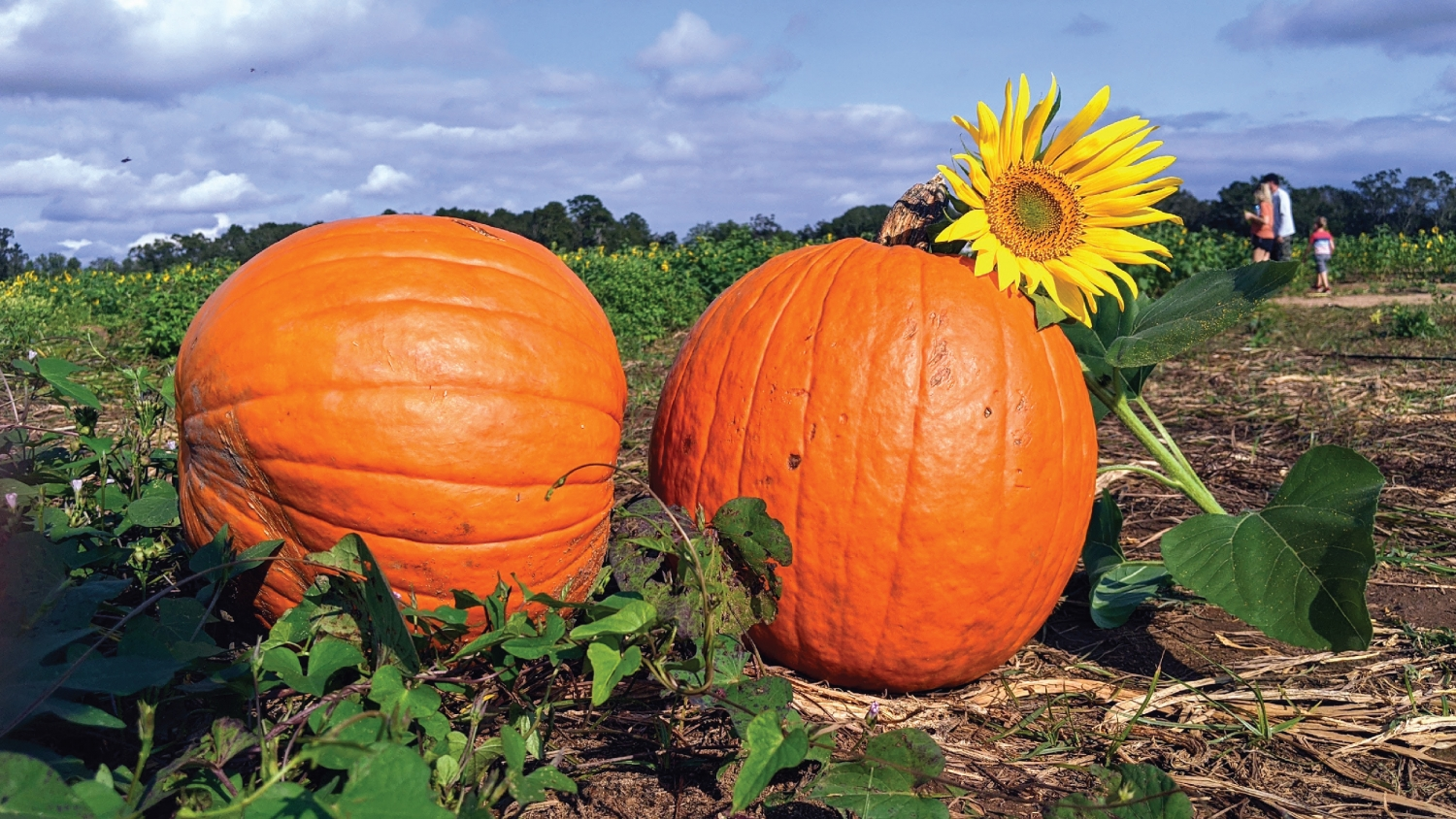 Two pumpkins in a a field with a sunflower leaning on them.